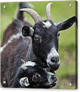 Young Goat With Mother Acrylic Print
