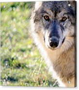 Young Gray Wolf In Light Acrylic Print