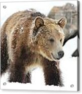 Young Grizzly Bear Acrylic Print