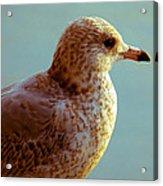 Young Gull Acrylic Print