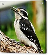 Young Hairy Woodpecker Acrylic Print