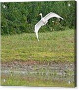 Young Heron In Flight Acrylic Print