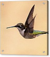 Young Hummingbird - Sailor Acrylic Print