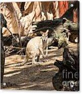 Young Kangaroo Acrylic Print
