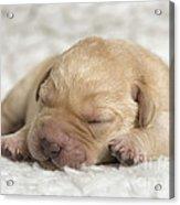 Young Labrador Puppy Acrylic Print