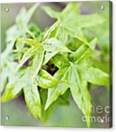 Young Leaves Acrylic Print