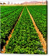 Young Lettuce Acrylic Print