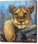 Young Lion Acrylic Print
