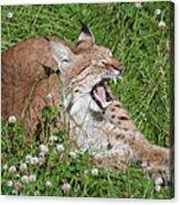 Young Lynx Yawning Acrylic Print