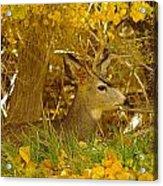 Young Male Buck Acrylic Print
