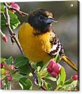 Young Male Oriole Acrylic Print