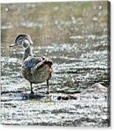 Young Male Wood Duck Acrylic Print