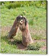 Young Marmots Acrylic Print