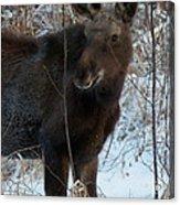Young Moose 4 Acrylic Print