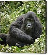 Young Mountain Gorilla Acrylic Print