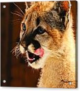 Young Mountain Lion Acrylic Print