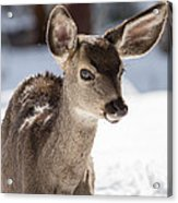Young Mule Deer Fawn In Yosemite National Park Acrylic Print