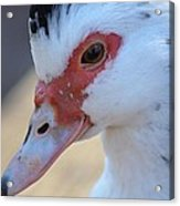 Young Muscovy Closeup Acrylic Print