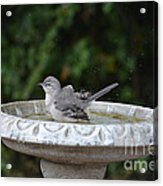Young Northern Mockingbird In Bird Bath Acrylic Print