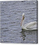 Young Pelican Acrylic Print