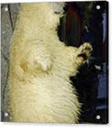 Young Polar Bear And Boy  Acrylic Print