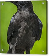 Young Raven Acrylic Print by Tim Grams