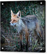 Young Red Fox Acrylic Print by Robert Bales