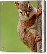 Young Red Squirrel Acrylic Print
