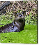 Young River Otter Egan's Creek Greenway Florida Acrylic Print