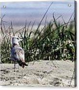 Young Seagull No. 1 Acrylic Print