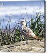 Young Seagull No. 2 Acrylic Print