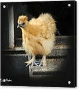 Young Silkie Acrylic Print