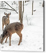 Young Spike Buck And Doe Whitetail Deer In Snowy Woods Acrylic Print