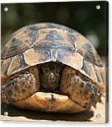 Young Spur Thighed Tortoise Looking Out Of Its Shell Acrylic Print
