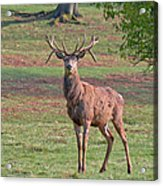 Young Stag Acrylic Print
