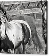 Young Stallions Acrylic Print