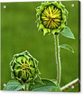 Young Sunflowers Acrylic Print