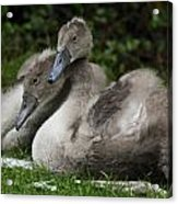 Young Swans Acrylic Print