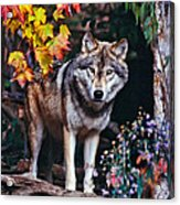 Young Timber Wolf Acrylic Print