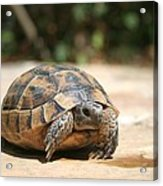 Young Tortoise Emerging From Its Shell Acrylic Print