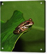 Young Tree Frog On Elephant Ear. Acrylic Print
