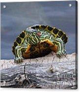 Young Turtle Acrylic Print