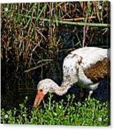 Young White Ibis Acrylic Print