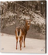 Young White Tailed Buck In Winter Acrylic Print