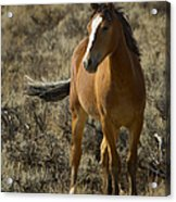Young Wild Mare   #0307 Acrylic Print