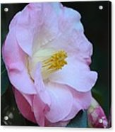 Youthful Camelia Acrylic Print by Maria Urso