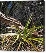 Pedernales Park Texas Yucca By The Dead Tree Acrylic Print