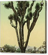 Yucca Cactus At Hesperia California Acrylic Print