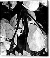 Yucca Flowers Acrylic Print