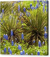 Yucca With Bonnets Acrylic Print